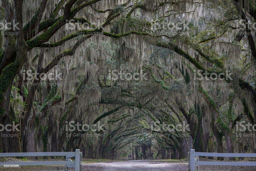 Oak tree tunnel stock photo