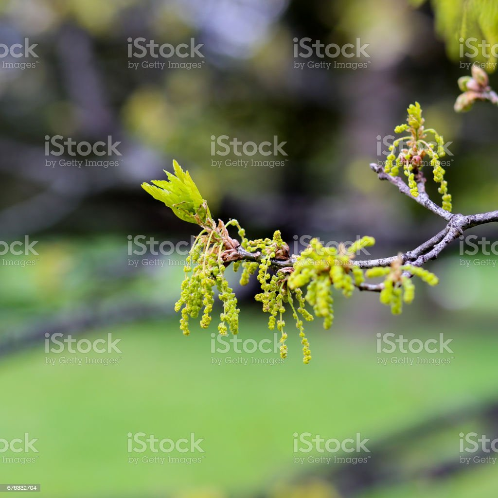 Oak tree twig with male catkins and young leaves stock photo
