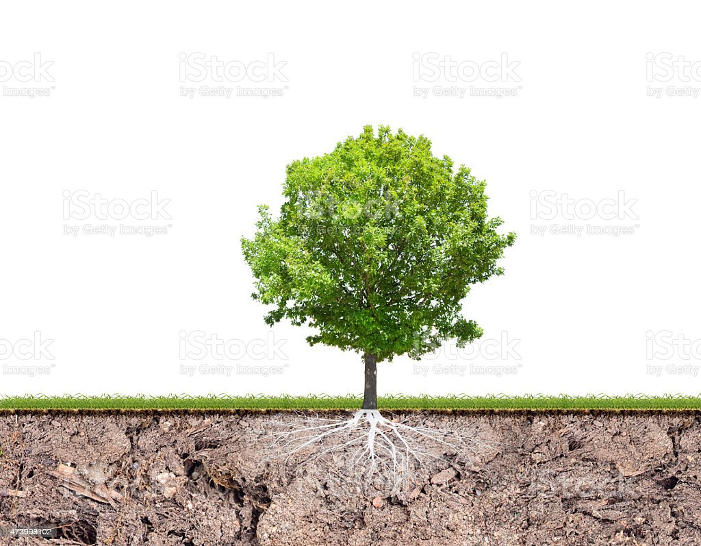 oak tree with root in soil isolated on white stock photo