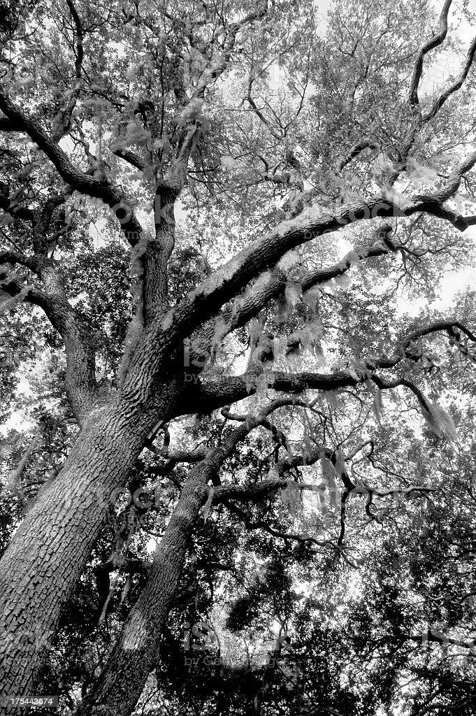 Oak Tree with Spanish Moss royalty-free stock photo