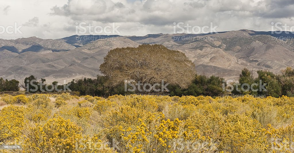 Oak Tree, Yellow Wildflowers, Owens Valley royalty-free stock photo
