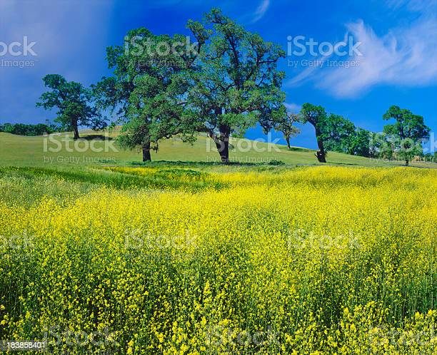 Photo of Oak Trees And Mustard Plants