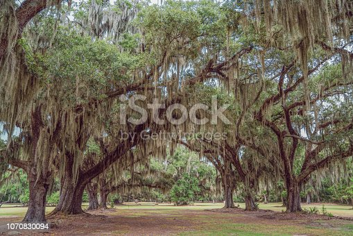 Fontainebleau State Park Oak Trees draped in Epiphyte