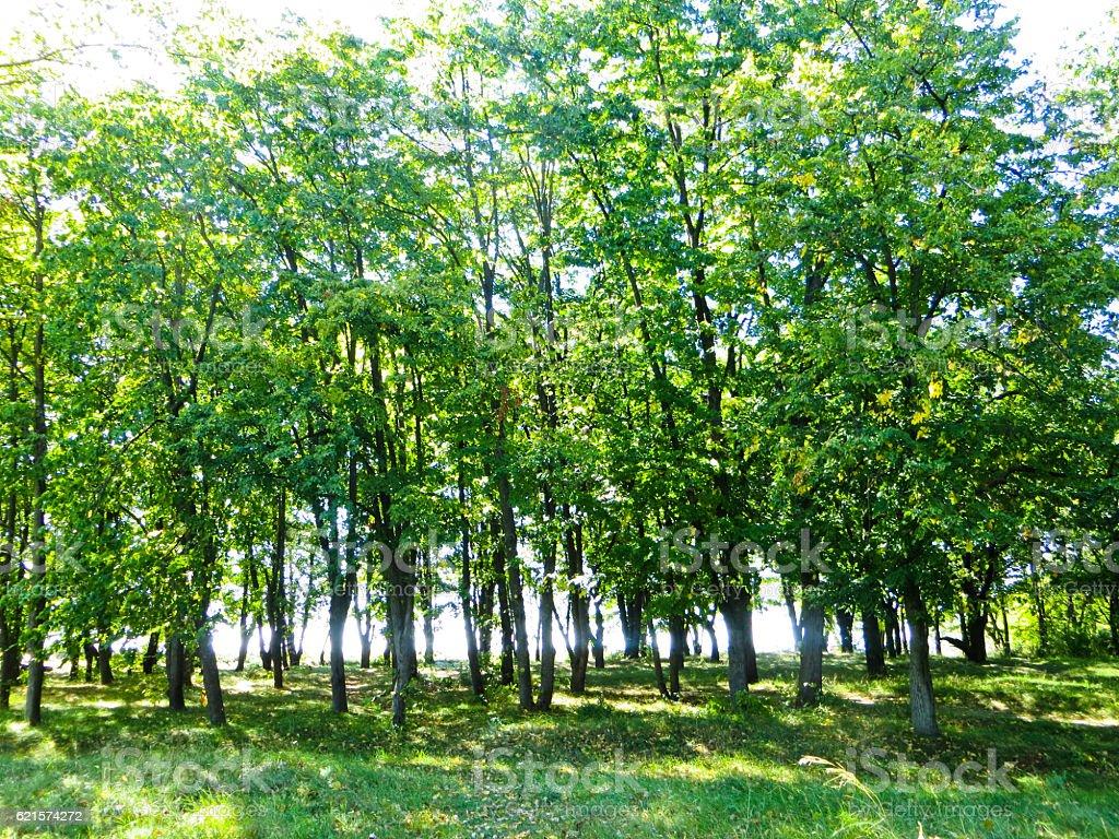 Arbres dans une forêt de chêne photo libre de droits