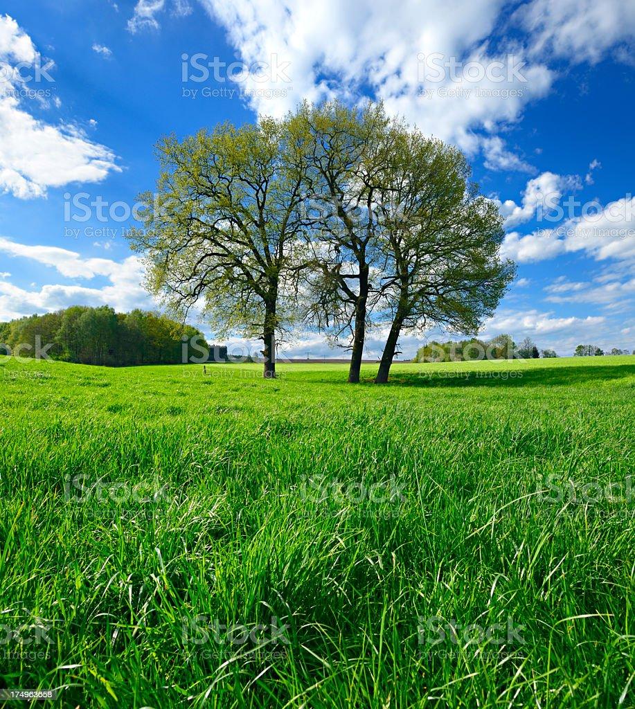 Oak Trees on Meadow in Spring Landscape stock photo