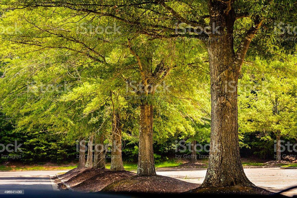 Oak Trees stock photo
