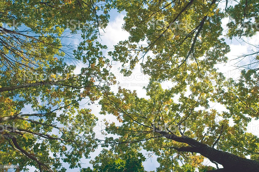 Oak trees royalty-free stock photo