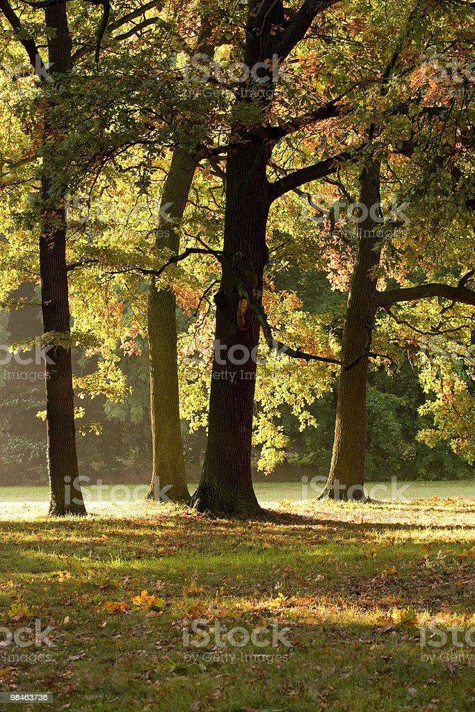 Oak trees royalty-free stock photo
