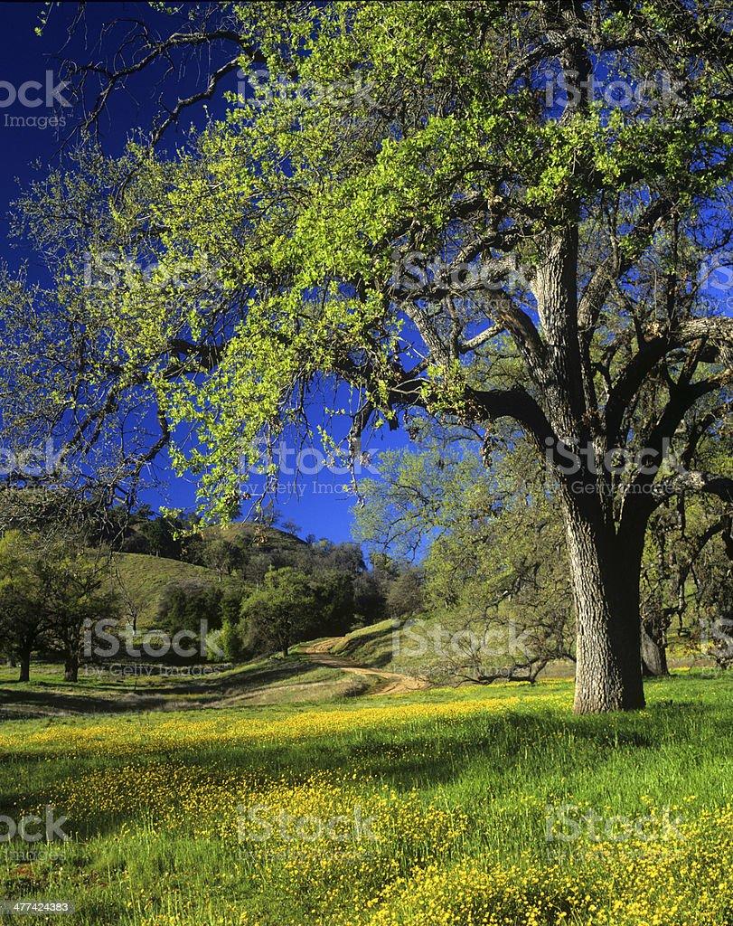 Oak árboles & flores silvestres - foto de stock