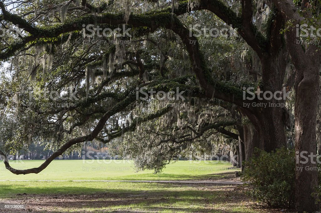 Oak Trees with Spanish Moss, Forsyth Park, Savannah, Georgia stock photo