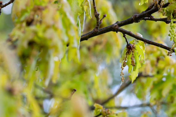 Oak twig with male flowers, catkins stock photo