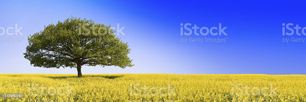 Oaken Blue (XLarge) - Royalty-free Acorn Stock Photo