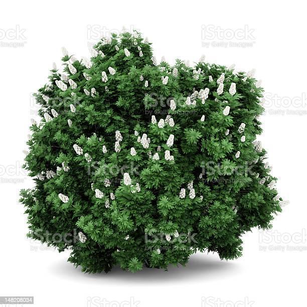 Oakleaf hydrangea bush isolated on white background picture id148208034?b=1&k=6&m=148208034&s=612x612&h=yoh7wp6o1gi4qlppdsqml snf1fxgflqyjh8wjhge5y=