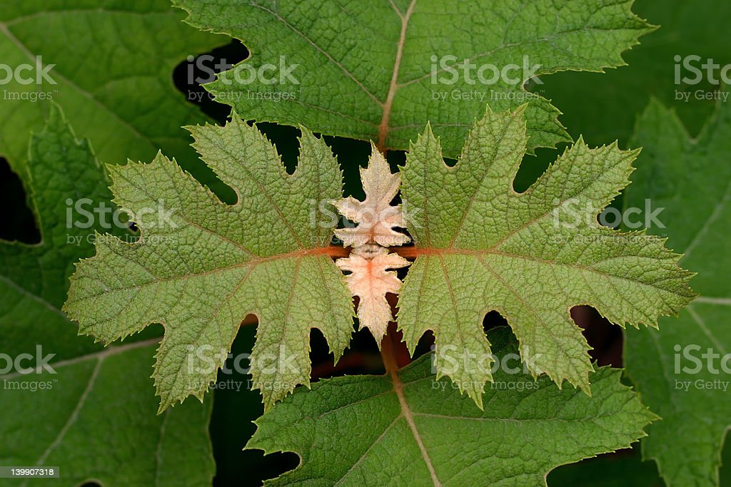 Oakleaf Hydrangea royalty-free stock photo