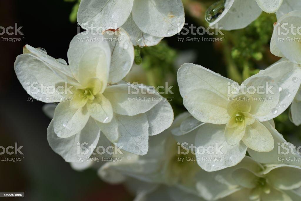 Oak-leaved hydrangea - Zbiór zdjęć royalty-free (Bez ludzi)