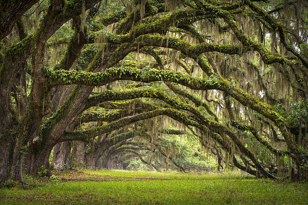 Oaks Avenue Charleston SC Plantation Live Oak Trees Forest Landscape stock photo