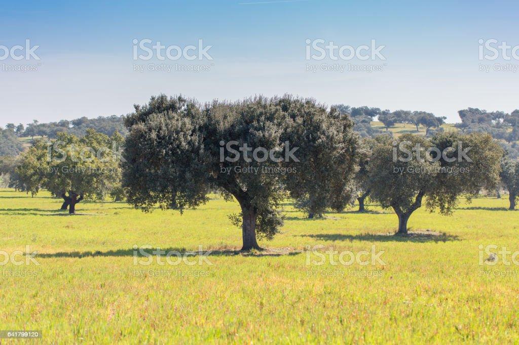 Robles de la dehesa de Extremadura - foto de stock