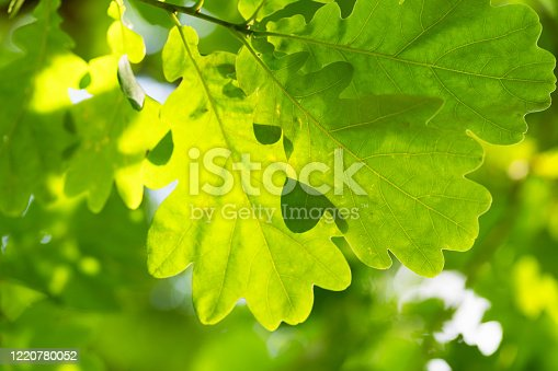 Green leaves of oak trees in a park of Riga city in summer sunny day
