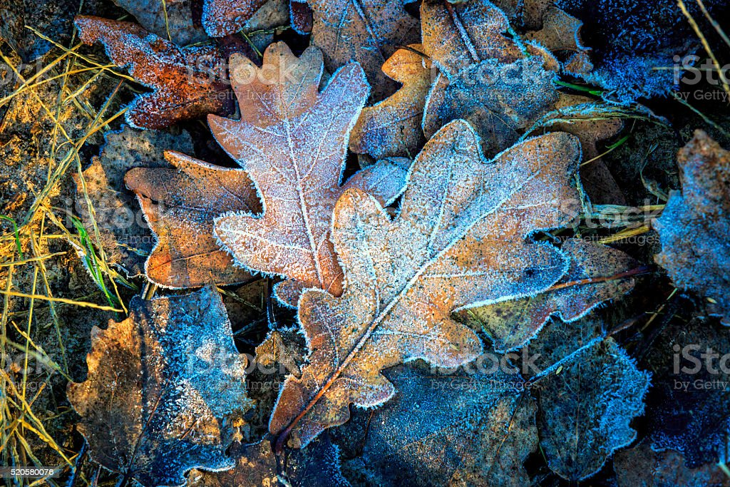 oaks leafs and first frost stock photo