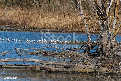 San Savino, Lago Trasimeno, Perugia, Umbria, Italia: Ambiente paludoso con alberi cannucce e uccelli d'acqua