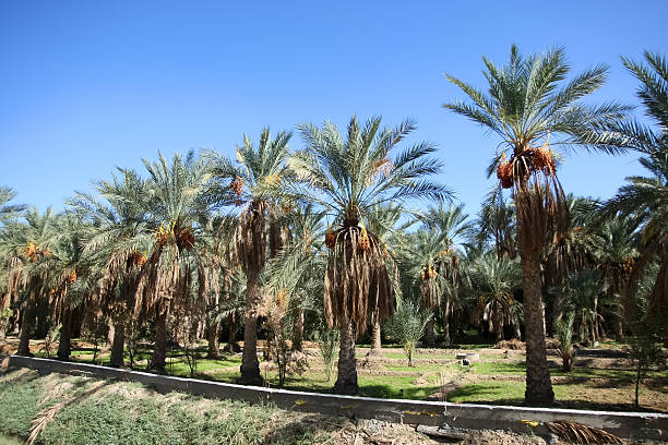 Oasis of date palms stock photo