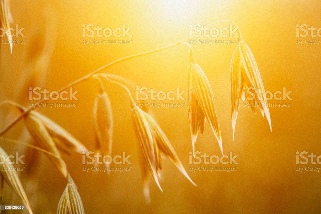 Oat crop in a field in Denmark in sunset stock photo