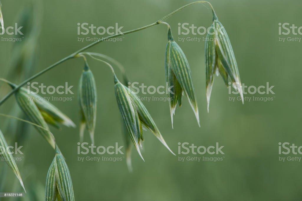 Oat crop in a field in Denmark stock photo