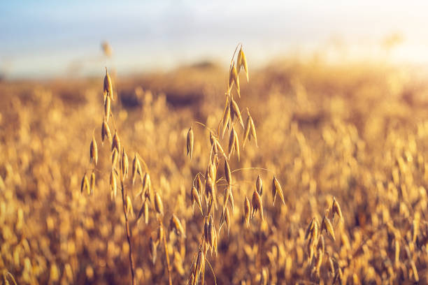 Oat ear on the field Oat ear on the field, illuminated by the dawn sun oat crop stock pictures, royalty-free photos & images