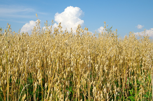 Oat field on a Sunny summer day