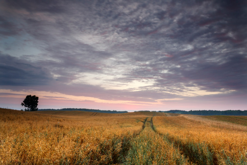 Oat Field Stock Photo - Download Image Now