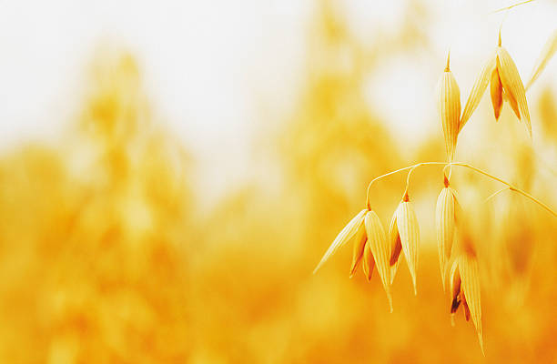 oat field oat field, copy space oat crop stock pictures, royalty-free photos & images