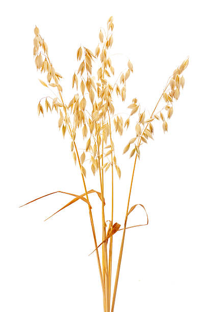 Oat http://www.avalonstudio.eu/careal2.jpg  oat crop stock pictures, royalty-free photos & images