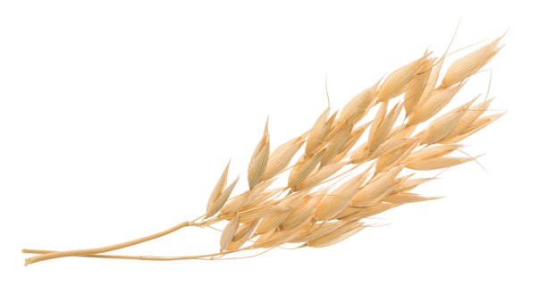 oat plant isolated on white without shadow clipping path - plant stem stock pictures, royalty-free photos & images