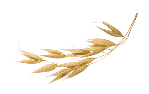 Oat plant isolated on white without shadow clipping path