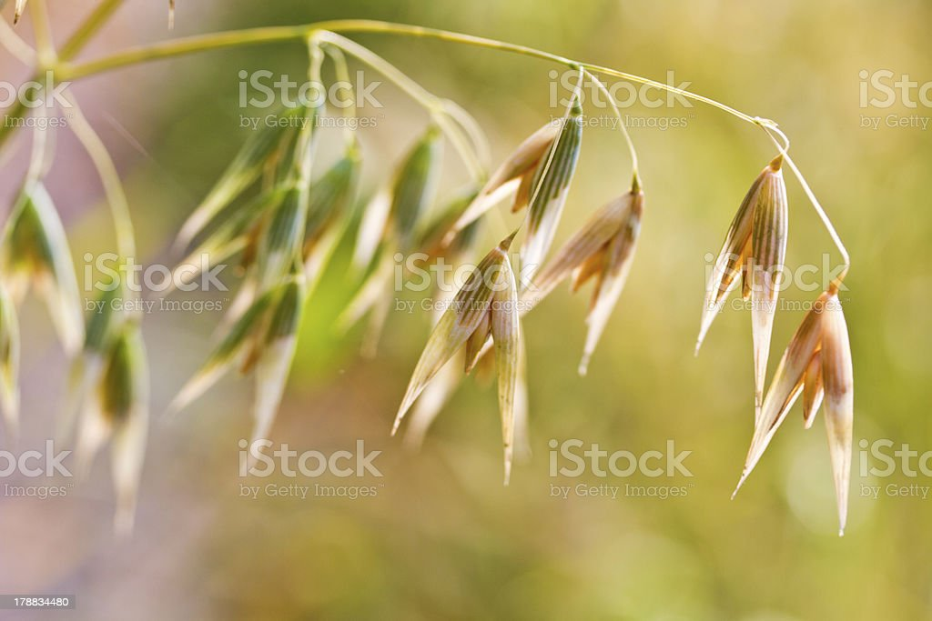 Oat plant royalty-free stock photo