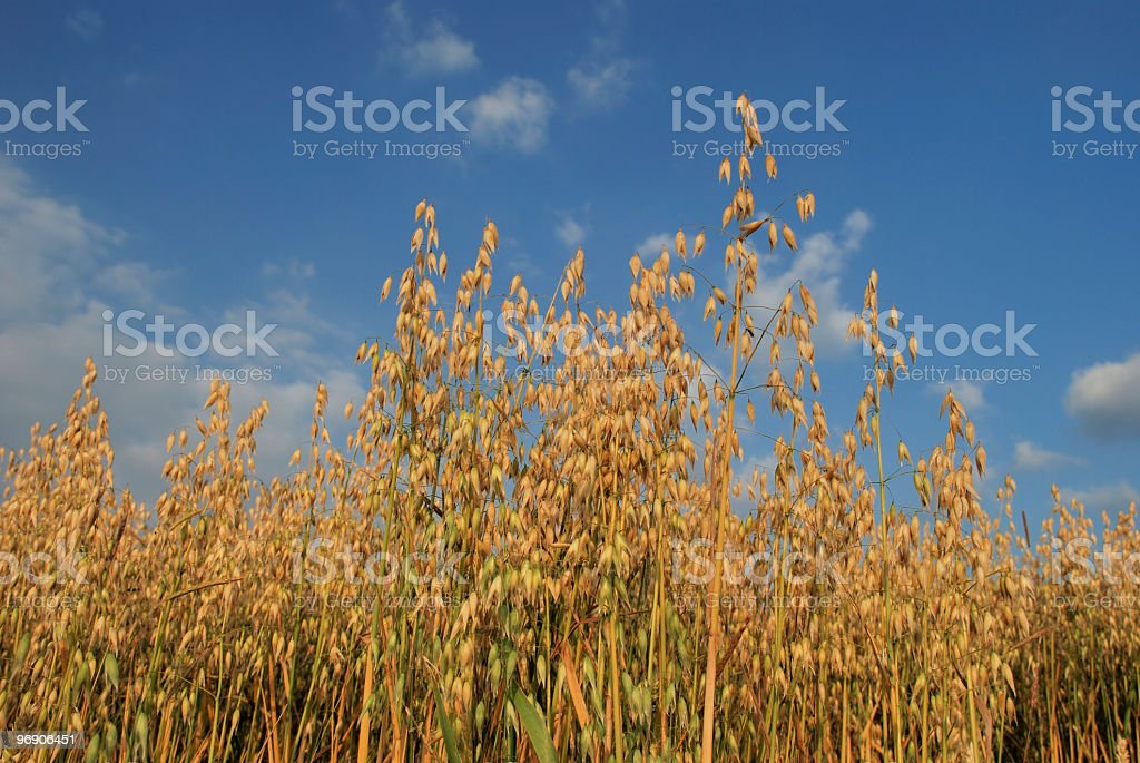 Oats cereal crop ripening in the sun against blue sky royalty-free stock photo