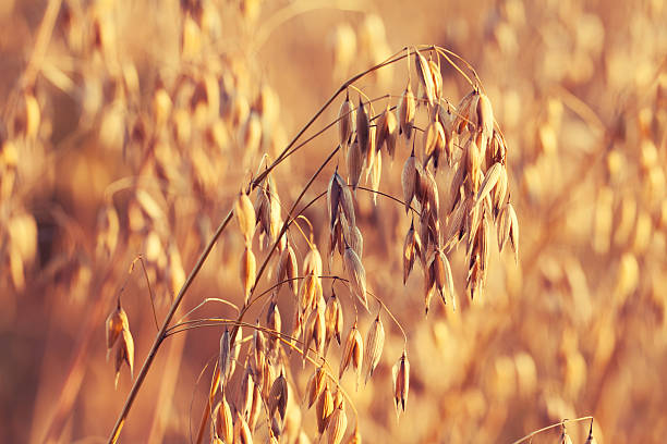 Oats field at sunset light Oats field at sunset light oat crop stock pictures, royalty-free photos & images
