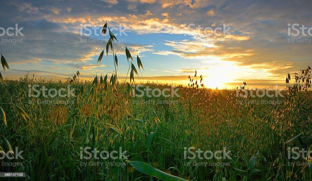 Oats field in sunrise стоковое фото