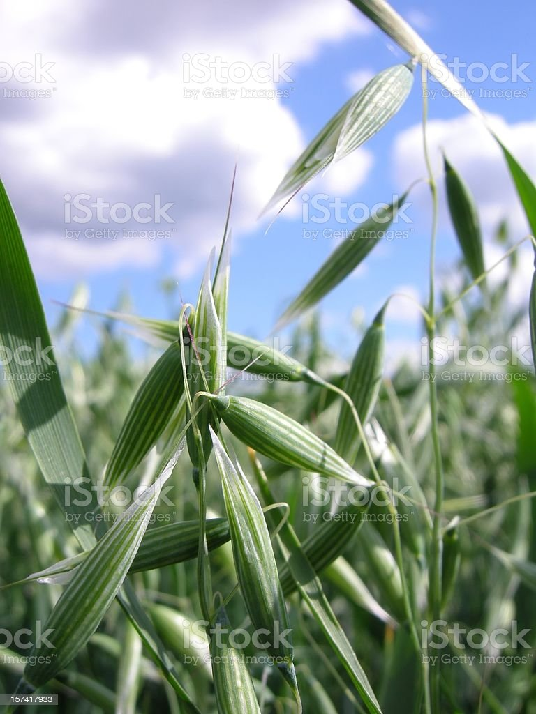 Oats fields on a clear day with blue sky royalty-free stock photo