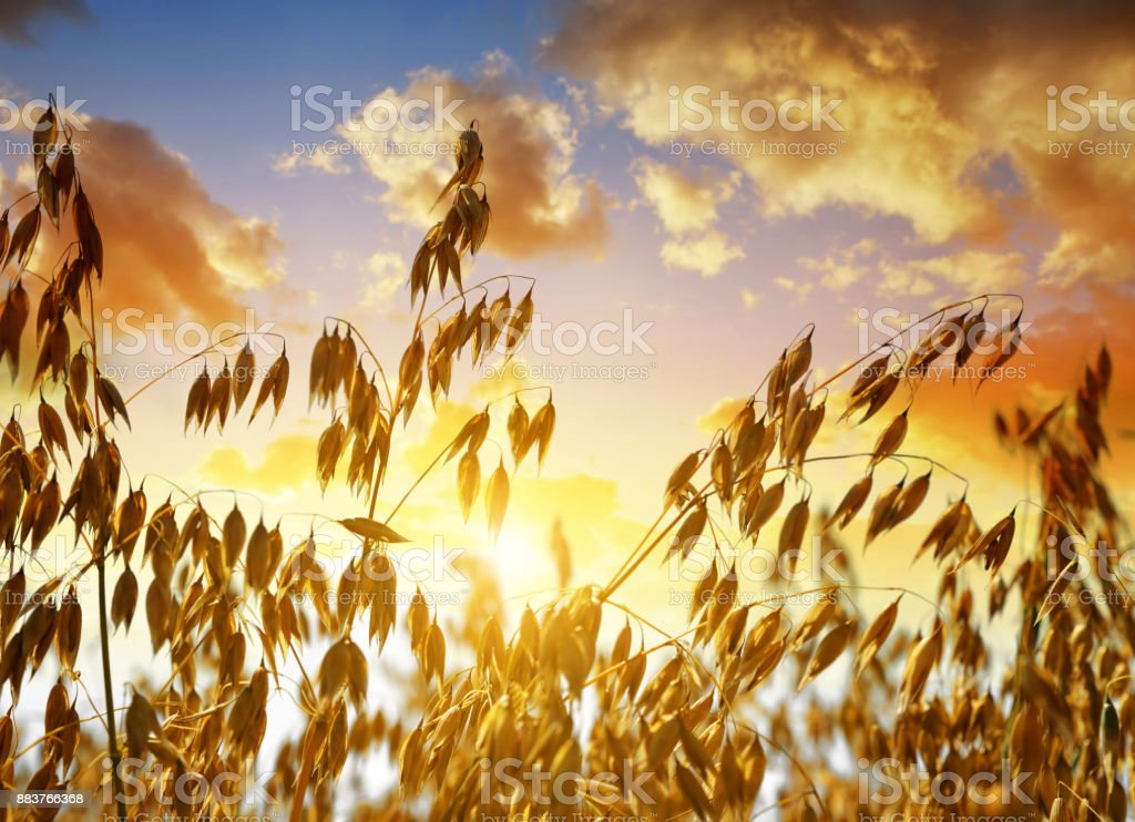 Oats in the field at sunset. Close up view of oats in the field at sunset. Agricultural Field Stock Photo