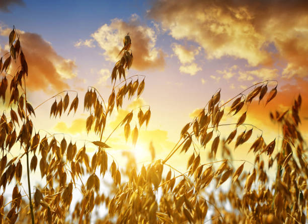 Oats in the field at sunset. stock photo