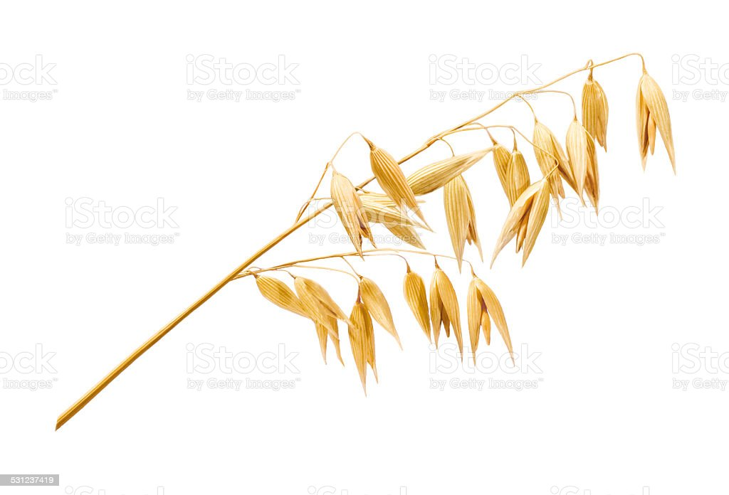овсянка растение фото