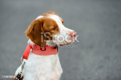 Brittany Spaniel puppy being trained to sit and stay.