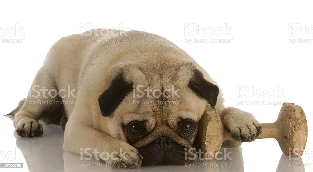 obedience trained dog royalty-free stock photo