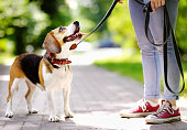 istock Obedient Beagle dog with his owner. Walking of pets. 1217377867