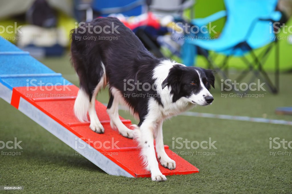 Obedient black and white Border Collie dog staying on a teeter-totter during agility competition stock photo