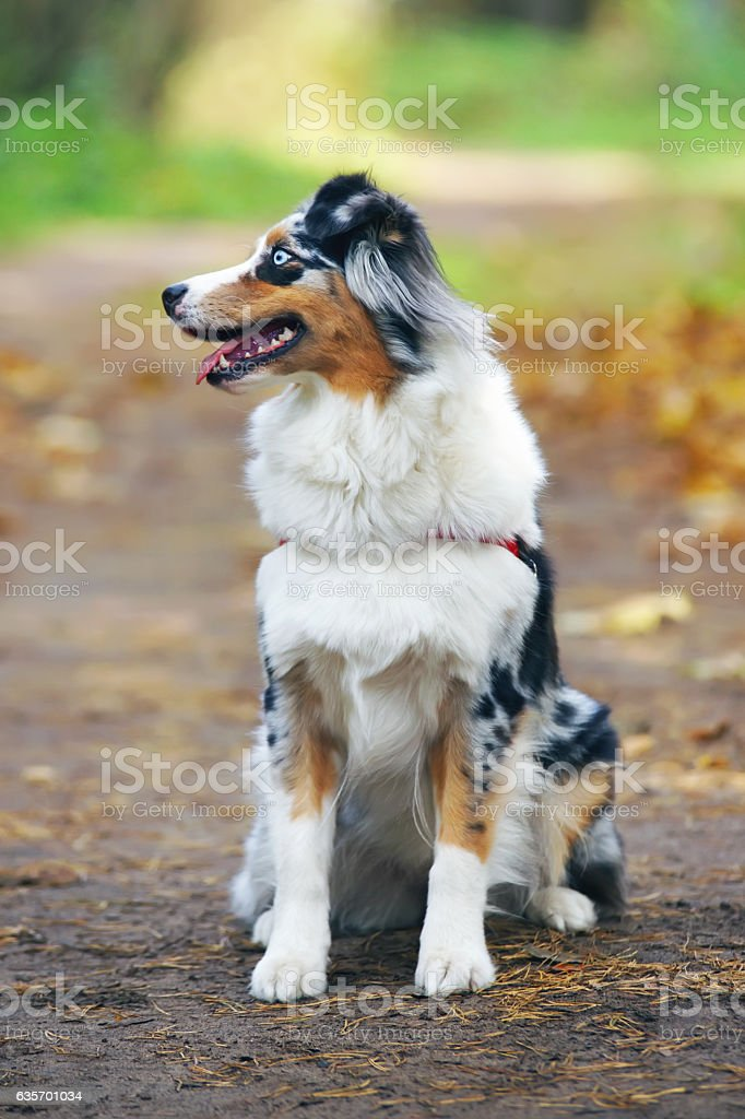 Obedient blue merle Australian Shepherd dog sitting in the forest royalty-free stock photo