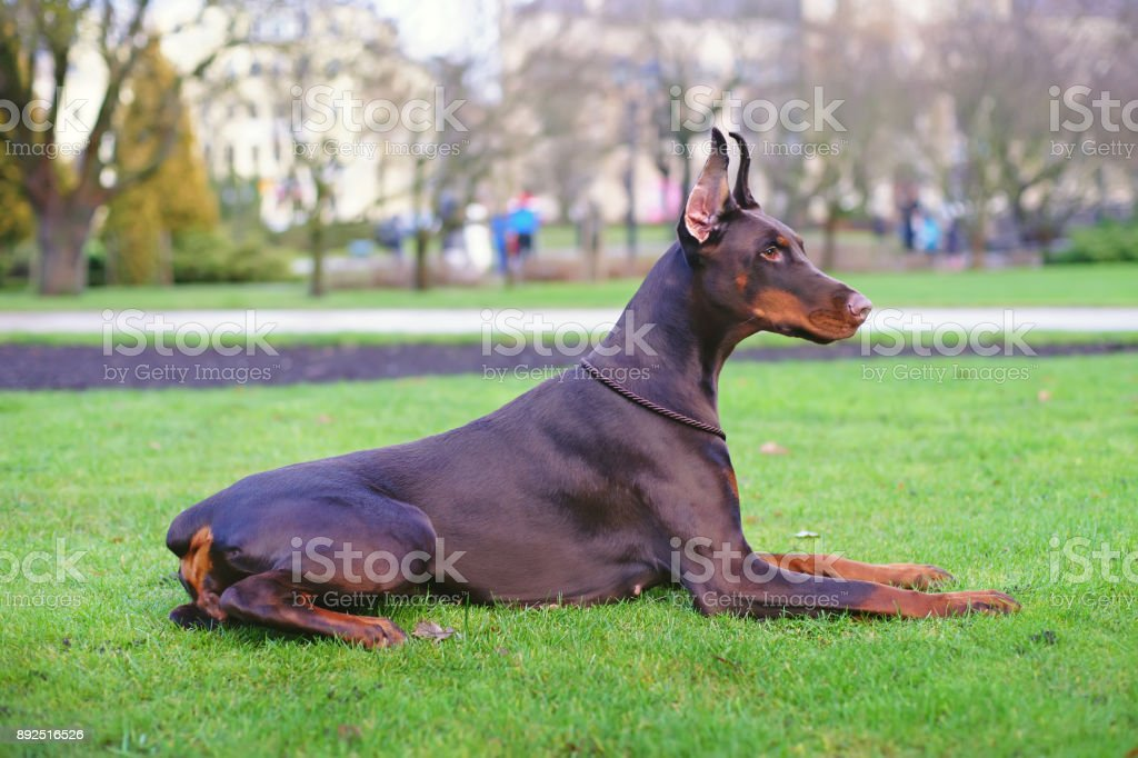 Obedient Brown Doberman Dog With Cropped Ears And Docked Tail Lying