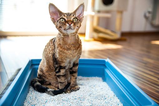 Obedient Devon Rex Cat Sitting in Litter Box in Living Room