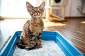 istock Obedient Devon Rex Cat Sitting in Litter Box in Living Room - stock photo 1222069589